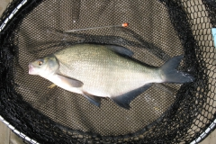 Laybourne_1.5lb_Bream