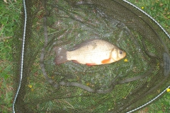 Laybourne_Browns_Crucian