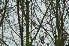 Pocklington_Canal_BarnOwl_01