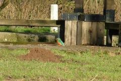 Pocklington_Canal_Kingfisher_Phil_01