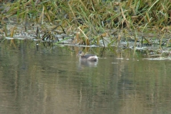 Pocklington_Canal_Little_Grebe_Phil_01
