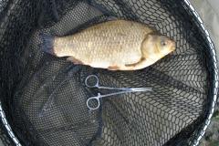 Rawcliffe_Lake_BrownGoldfish