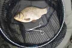 Rawcliffe_Lake_BrownGoldfish_02