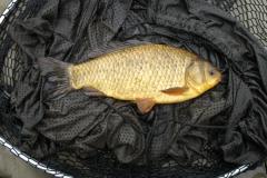 Rawcliffe_Lake_BrownGoldfish_03