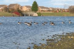 Rawcliffe_Lake_Geese